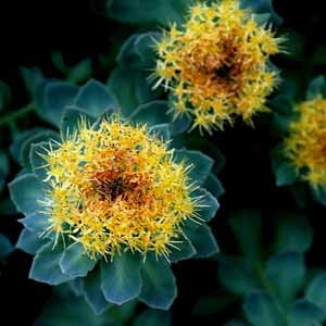 rhodiola-rosea-benefits-small-300